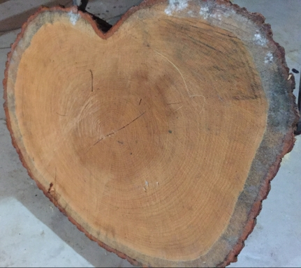 tree-slice.jpg
